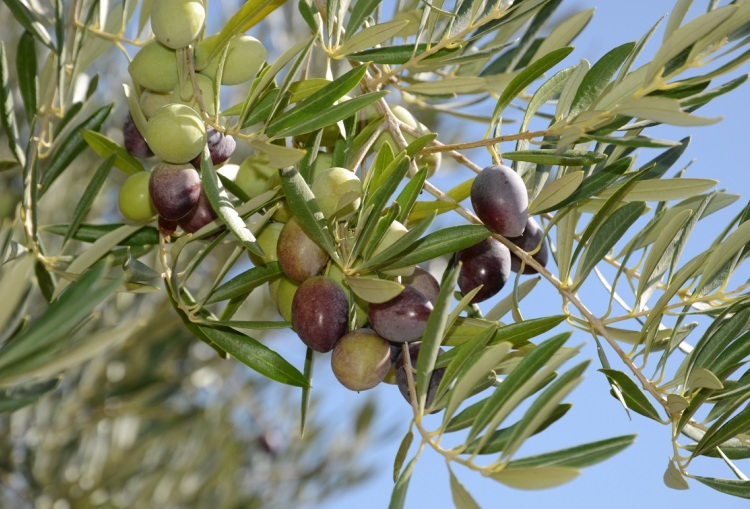 Olivetum Colina_28